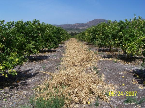 Lemon Prunings - Before
