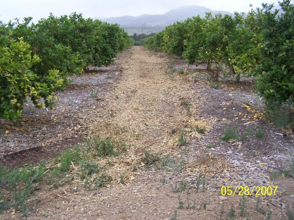 Lemon Prunings - After